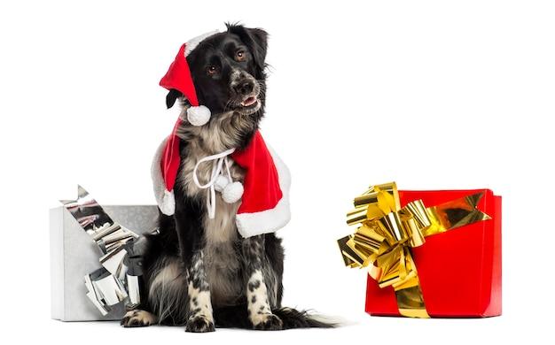 Border collie w świątecznych ubraniach i siedzi obok prezentów