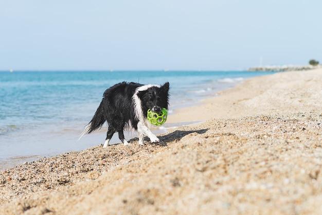 Border collie z piłką w ustach podczas biegania na plaży
