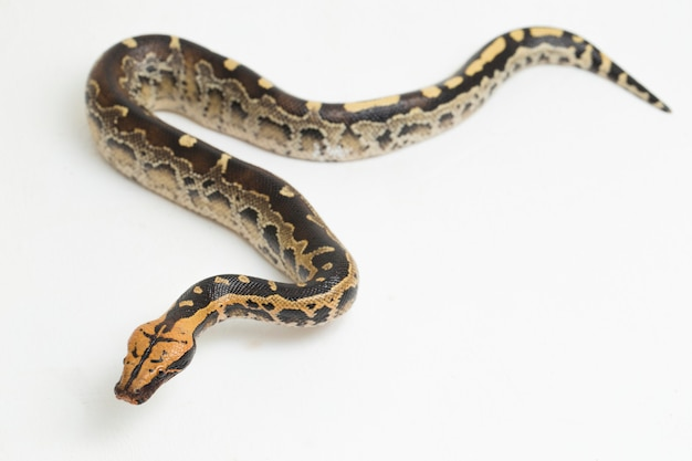 Borneo shorttailed blood python snake python curtus breitensteini na białym tle