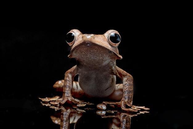 Borneo uszata rzekotka na białym tle