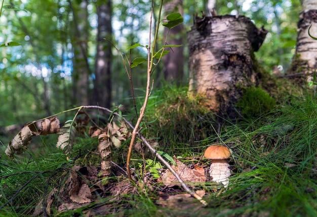 Borowik biały w lesie pod drzewem. region leningradzki.