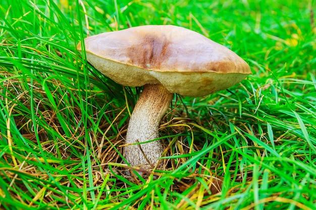 Borowik brązowy na trawie. zbieranie grzybów.
