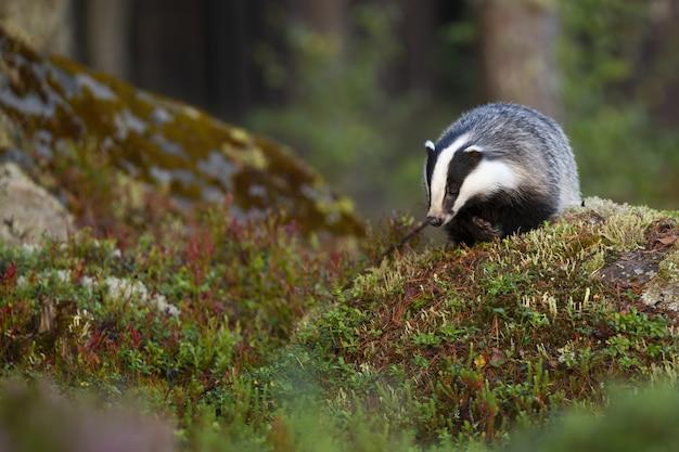 Borsuk europejski poszukujący jedzenia i zbliżający się po skałach w lesie.