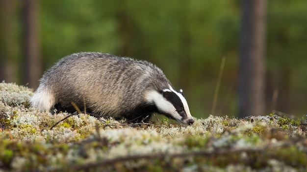 Borsuk europejski topi się, wącha mech w letniej przyrodzie. dziki borsuk pachnący latem na skale. pasiasty ssak stojący na kamieniu w lesie.