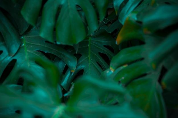 Botaniczne liście monstera