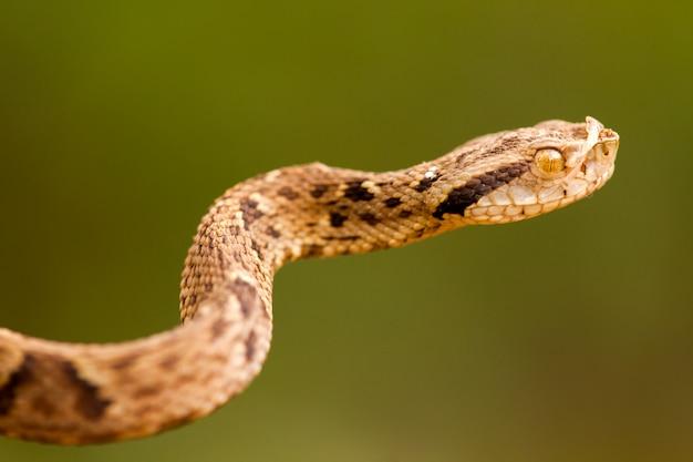 Bothrops jararaca close - wysoka szczegółowość