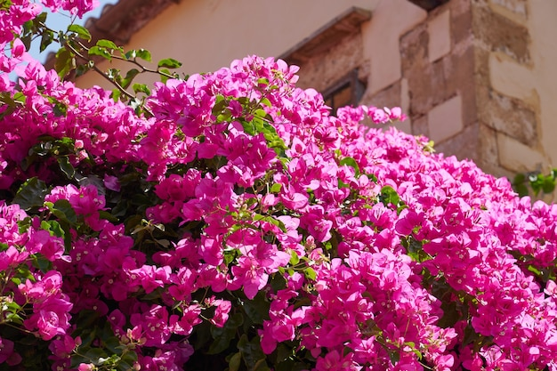 Bougavillia egzotyczny kwitnący krzew w intensywnie różowym odcieniu koloru na krecie grecja