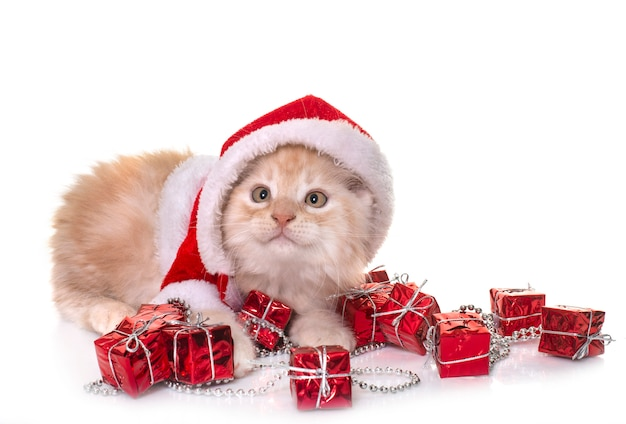 Boże narodzenie maine coon kitten