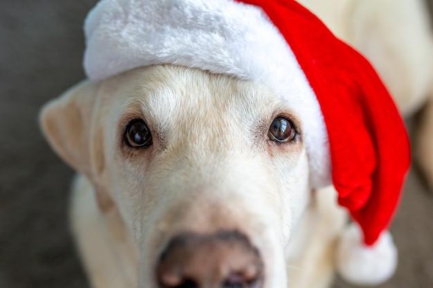 Boże narodzenie pies w czapce świętego mikołaja święty mikołaj 2022 labrador na boże narodzenie pies dla