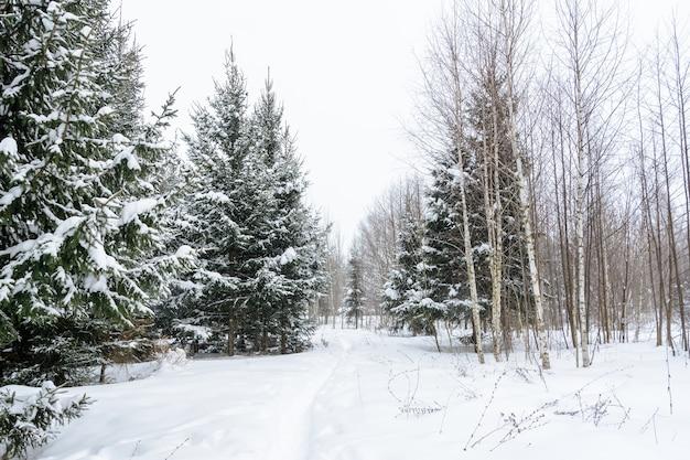 Boże narodzenie tło z śnieżnymi jodłami. pokryte śniegiem drzewa w lesie. zimowy krajobraz.
