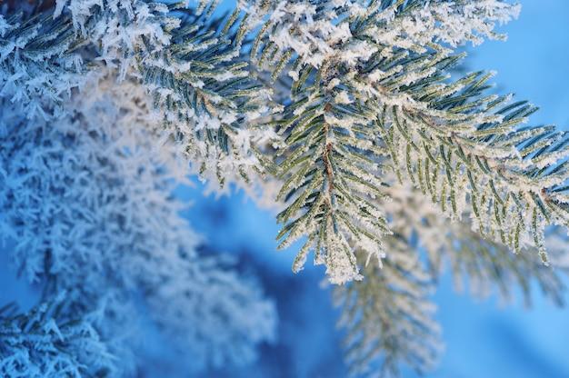 Boże narodzenie wiecznie świerk śnieżne drzewo ze świeżym śniegiem na niebieskim tonie, tło zima.