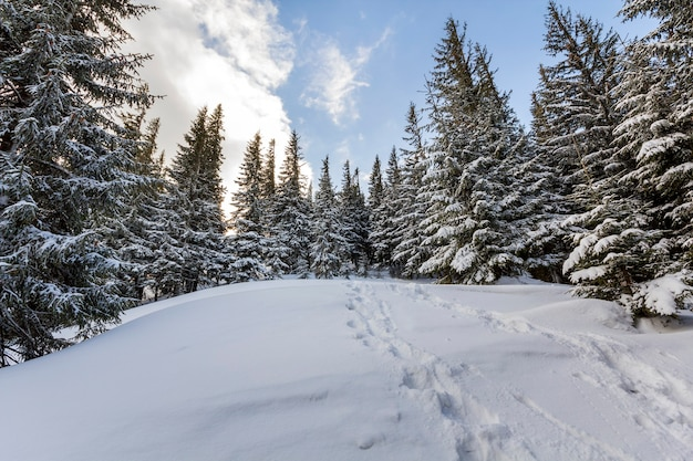 Boże narodzenie zimowy krajobraz. piękne wysokie jodły pokryte śniegiem i mrozem na zboczu góry oświetlone jasnymi promieniami słońca na niebieskim niebie. wesołych świąt i szczęśliwego nowego roku.