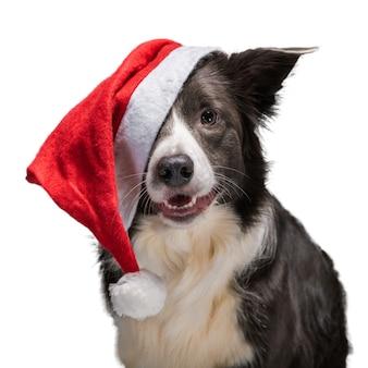 Bożonarodzeniowy pies rasy border collie w czerwonym kapeluszu świętego mikołaja na białym tle, światło studyjne