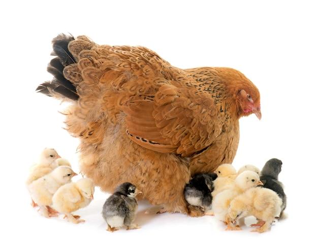 Brahma kurczak i pisklęta