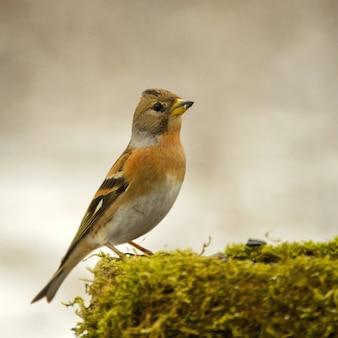 Brambling (fringilla montifringilla) na zimowym karmniku dla ptaków.