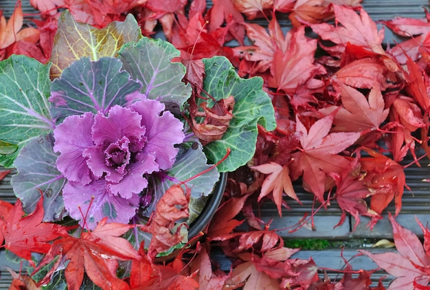 Brassica i liście klonu