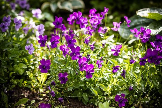Bratek ogrodowy. fioletowy kwiat bratek. hybrydowy bratek lub viola trójkolorowy bratek w kwietniku