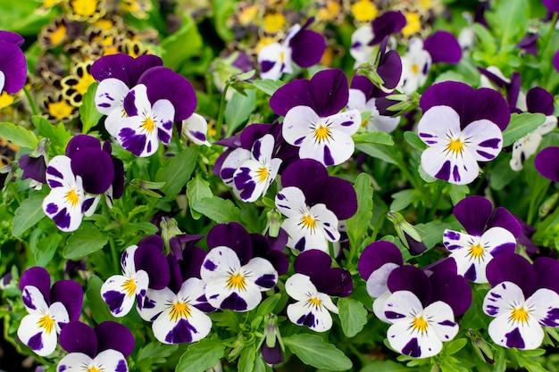 Bratki biało-fioletowe lub trójkolorowe kwiaty fiołka