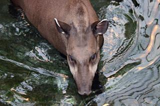 Brazilian tapir w wodzie