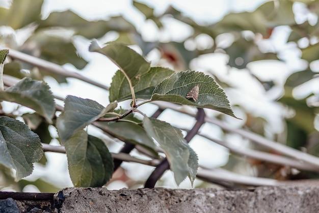 Brązowa ćma siedzi na zielonym liściu jabłoni. transparent