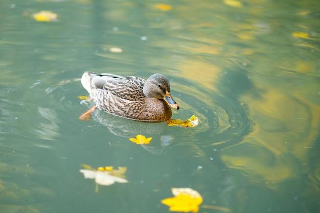 Brązowa dzika kaczka pływa na jeziorze jesienią
