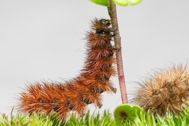 Brązowa gąsienica wspinająca się na patyku