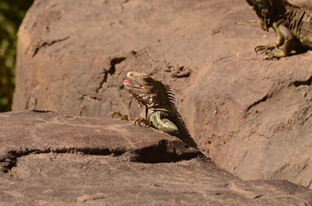 Brązowa iguana z lekko otwartymi ustami językiem.