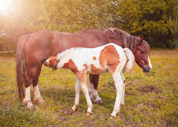 Brązowa klacz karmi źrebię na polu. konie na pastwisku. pojęcie życia na farmie.