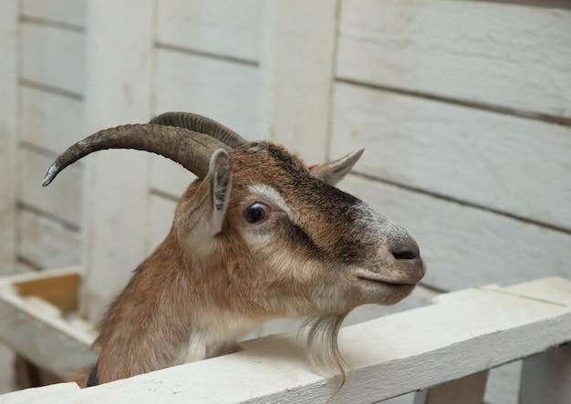 Brązowa koza w stodole. koza domowa w gospodarstwie. mała koza stojąca w drewnianym schronieniu. ciekawy mały kozioł stojący w drewnianym schronieniu. małe kozy podczas zabawy w stodole.