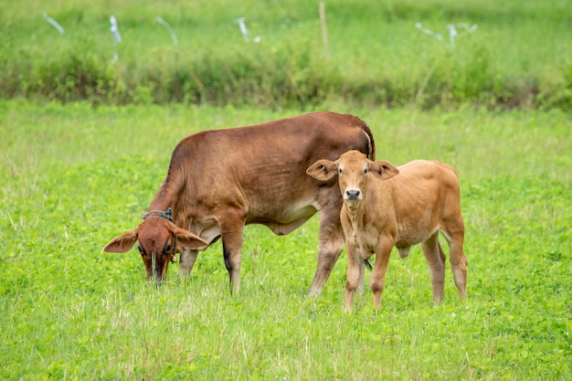 Brązowa krowa. farma zwierząt.