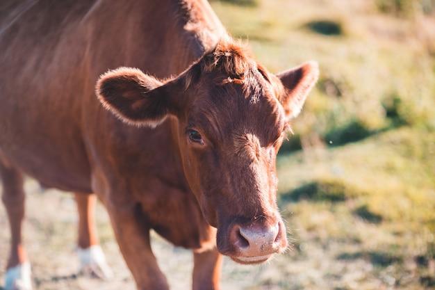 Brązowa krowa na polu zielonej trawie w ciągu dnia