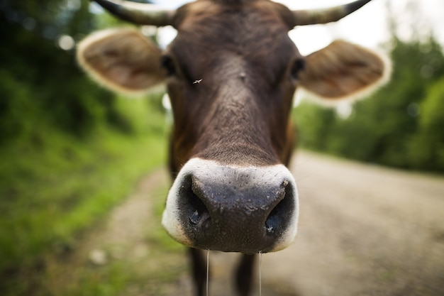 Brązowa krowa na wiejskiej drodze z bliska