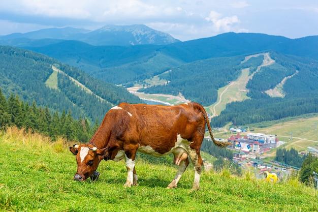 Brązowa krowa pasie się w jasny letni dzień w górach. świeże powietrze i naturalny krajobraz.