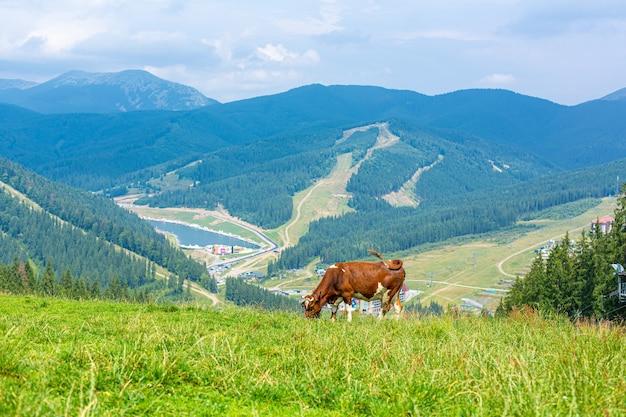 Brązowa krowa pasie się w jasny letni dzień w górach