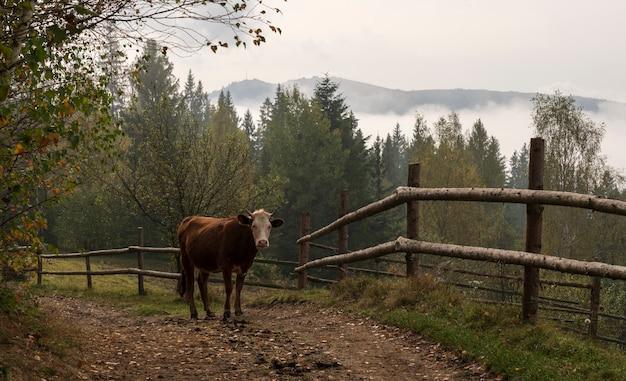 Brązowa krowa zamykająca drogę w górach ukrainy