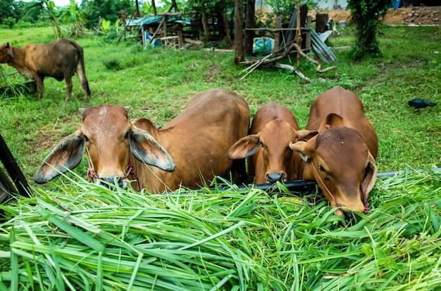 Brązowa krowa zjada trawę