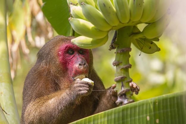 Brązowa małpa siedzi na drzewie i je banana