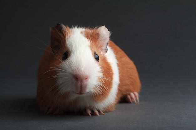 Brązowa świnka morska na szarej powierzchni