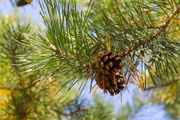 Brązowa szyszka sosny na gałęzi