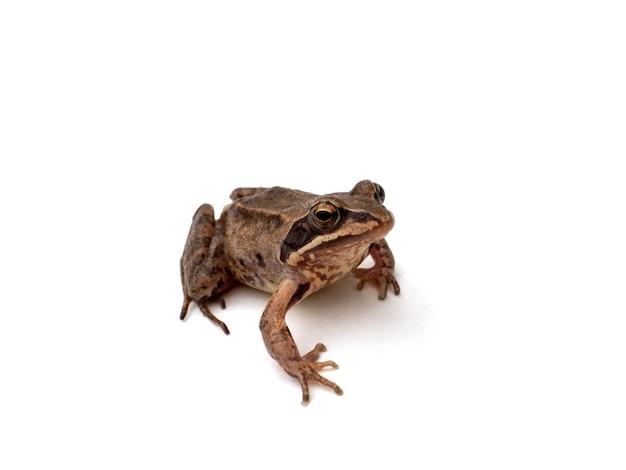 Brązowa żaba na białym tle odizolowane.
