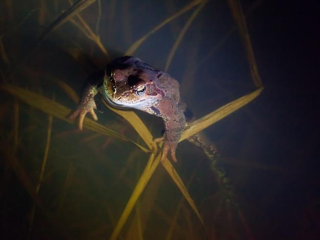 Brązowa żaba siedzi nieruchomo w wodzie w nocy