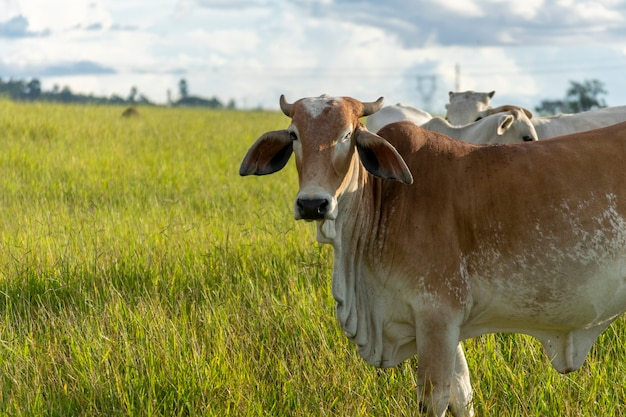 Brązowe bydło nellore na pastwisku w gospodarstwie
