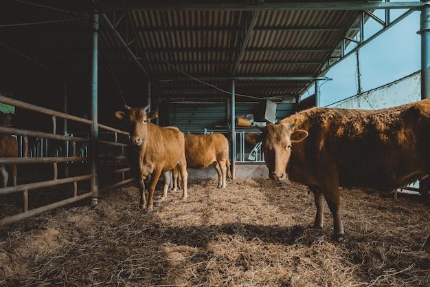 Brązowe byki stojące na suchej trawie stodoły