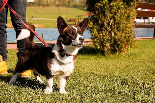Brązowe corgi na smyczy na zielonej trawie chodzić w słoneczny dzień szczęśliwy zwierzak