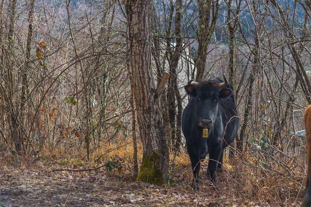 Brązowe i czarne krowy w lesie sosnowym w parku narodowym kotychi-strofylia, w achaia, peloponez, grecja. deszczowy dzień w lesie sosnowym.
