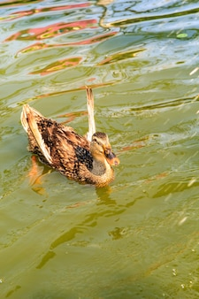 Brązowe kaczki pływające w naturalnym basenie
