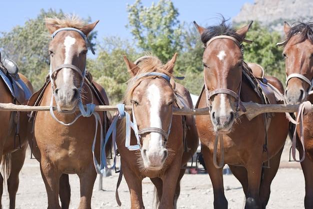 Brązowe konie na ranczo