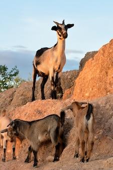 Brązowe kozy karłowate