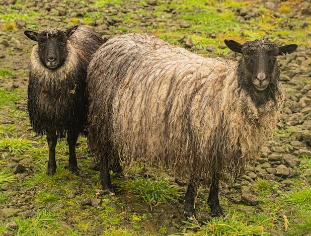 Brązowe owce na pastwisku w ciągu dnia