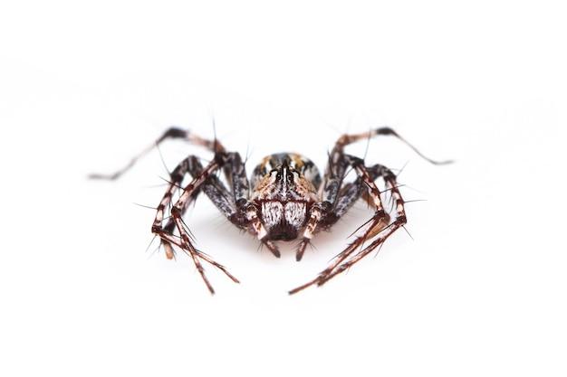 Brązowe pająki rysie. od góry. owad. zwierzę